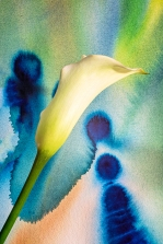 Watercolor with Calla Lily
